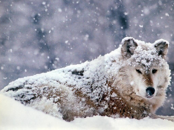 snow wolf nature life
